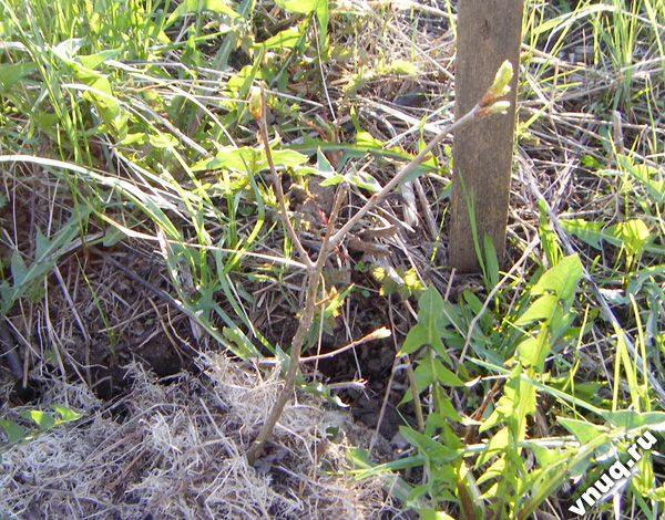 Маленький дубок весной, видны почки