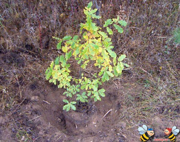 Окапываение корня